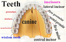 The Names of The Teeth