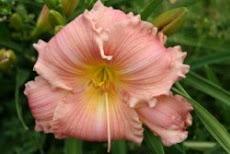 Hémérocalles & Iris en Laurgais