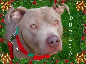 Foster Dogs NYC: Dublin the Weimaraner Mix - ADOPTED
