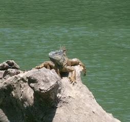 An Iguana at Xunantenich