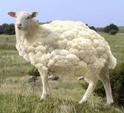 Naissance de bétail transgénique cloné en Chine