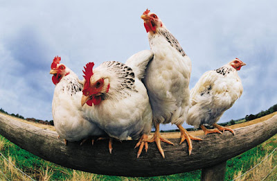 photo of four white chickens