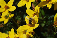 bee enjoying brown eyed susans