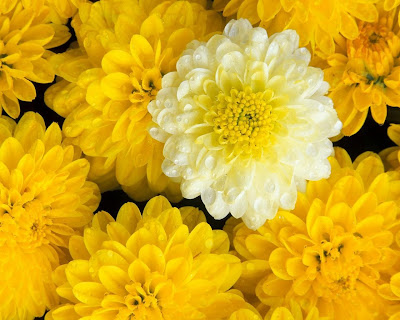 close up of yellow mums