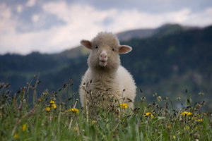 Годная овца.
