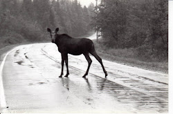 Black & White Moose