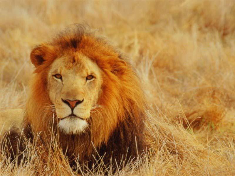 William Shawn Lying-lion