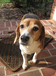 Wizard - our (indiscriminate) food loving beagle