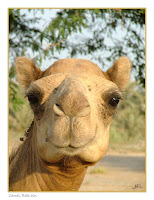Rude Jokes Camel