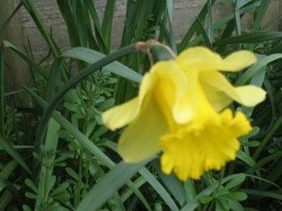 A single daffodil.