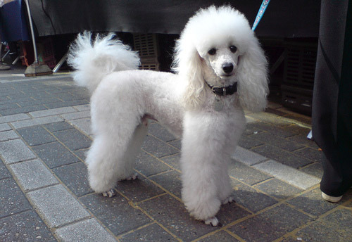 White French Poodle Puppies