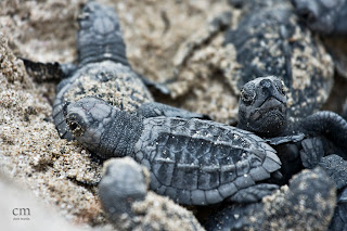 chris martin photography _turtles 5