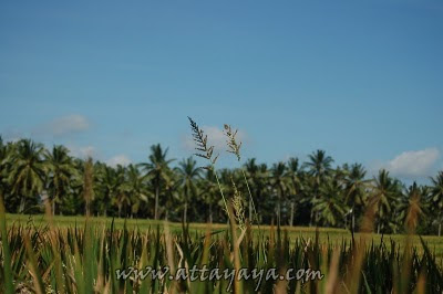 Paddy Field Terrace or Rice Field Terrace at Jatiluwih Bali BeachesinBali; Paddy Field Terrace at Jatiluwih Bali