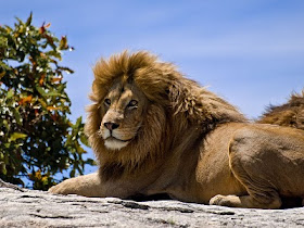 Singa_jantan_Male_Lion_on_Rock.jpg
