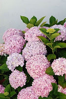 Bokor_bunga_bokor_Hortensia_Hydrangea