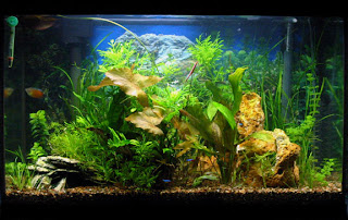 Fresh water aquarium fish cycling your aquarium for Cycling a fish tank