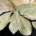 bay leaf
