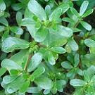 purslane