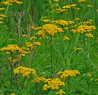 Tansy plants