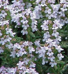 common thyme plants
