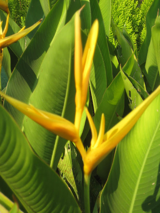 Heliconia yellow dancer