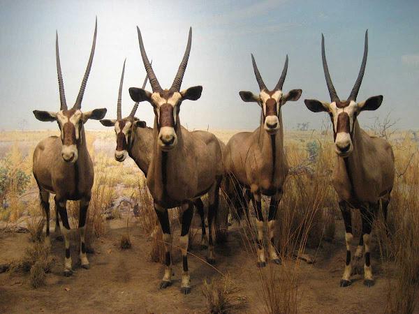 Natural History Gemsboks - A gang of gemsboks in a diorama at the American Museum of Natural History.