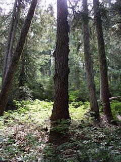 Trees along Paradise River between upper and lower Narada Falls