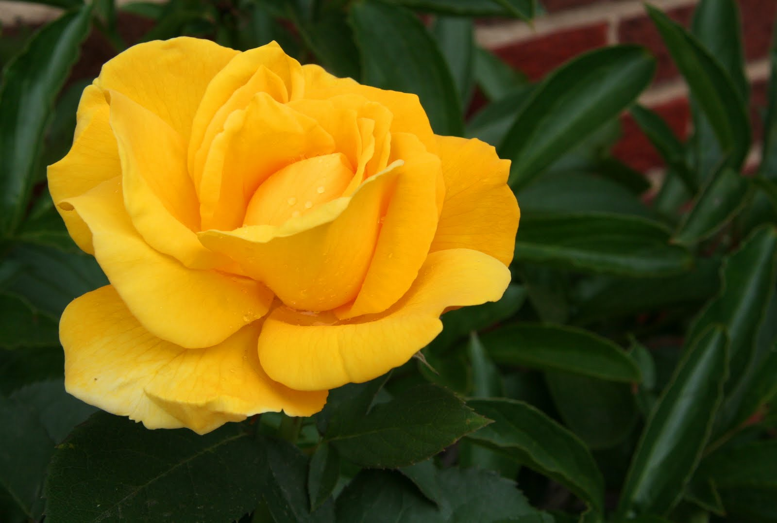 Two yellow roses meaning today the yellow rose is used