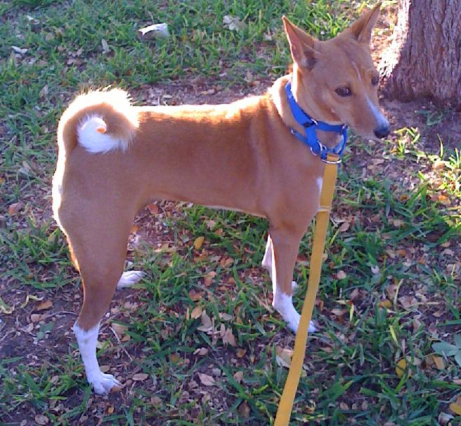 Basenji Rescue and Transport Blog: February 2011