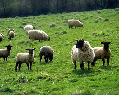 A man who was accused of having sex with a sheep has walked …