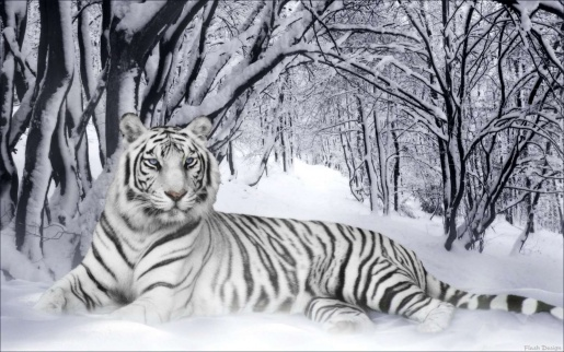 animal wallpaper tiger. wallpaper tiger. pictures
