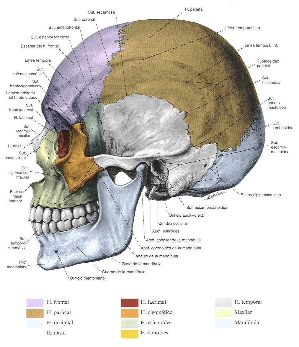 ... de Laboratorio para Odontologo: Osteologia Huesos del Craneo y la Cara