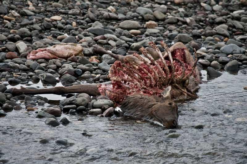 [Elk-carcass_0442.jpg]