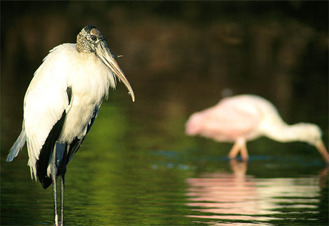 [wood-stork-in-water.jpg]
