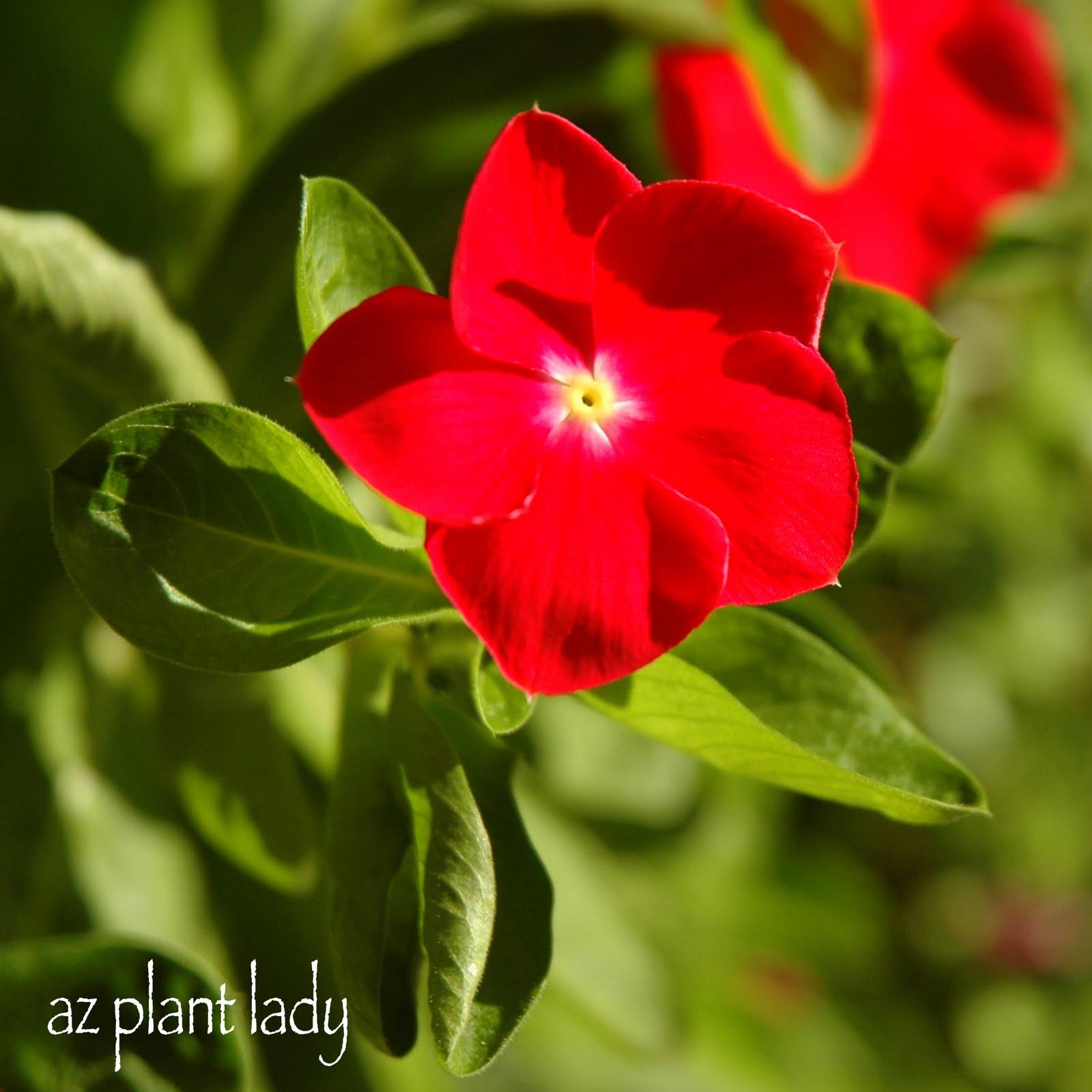 Very, Vibrant Vinca... - Ramblings from a Desert Garden