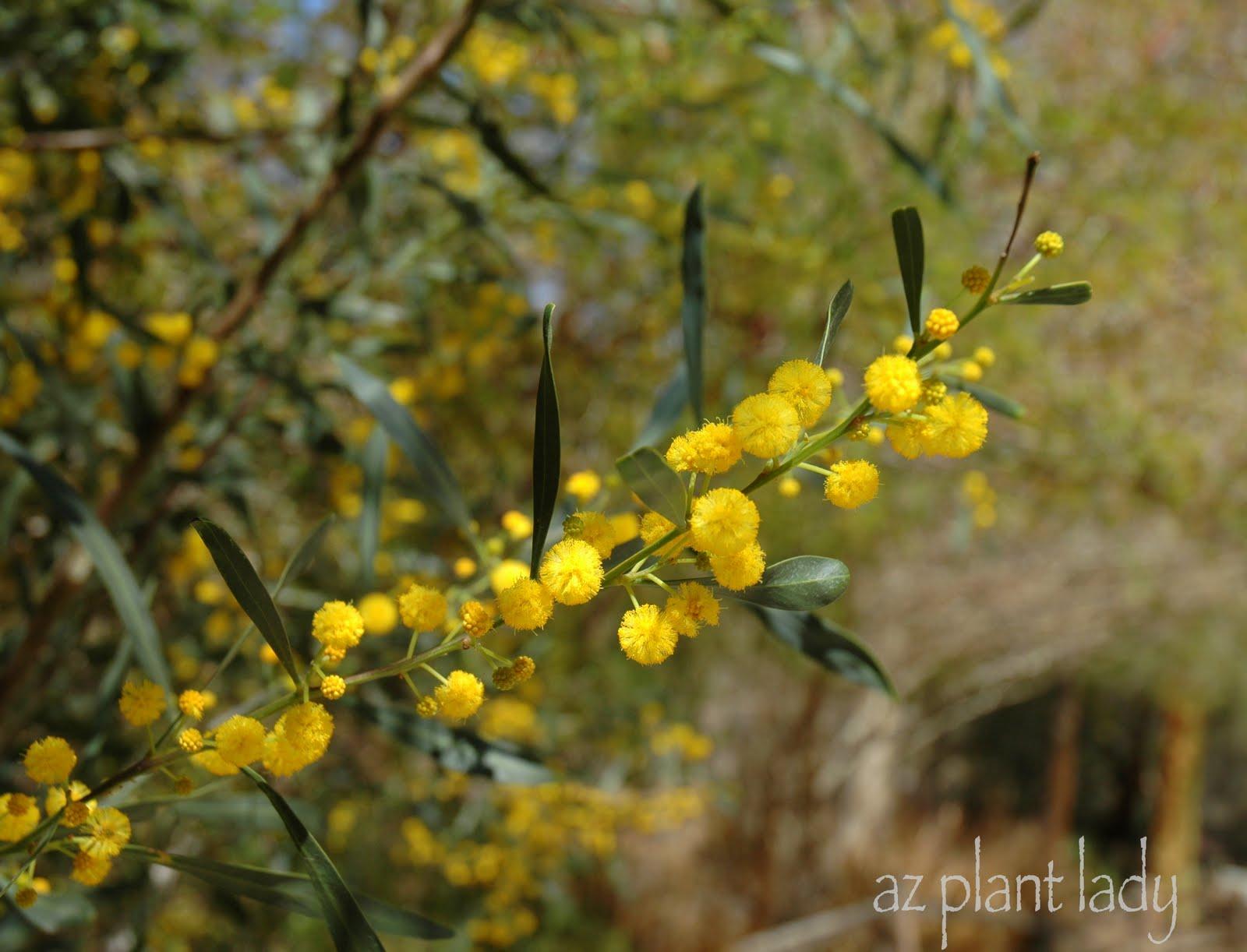 Large Trees And Little Leaves Ramblings From A Desert Garden