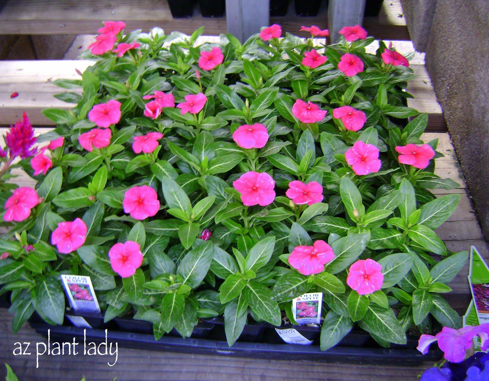 Winter or Summer Flowers A Pop Quiz Ramblings from a Desert Garden