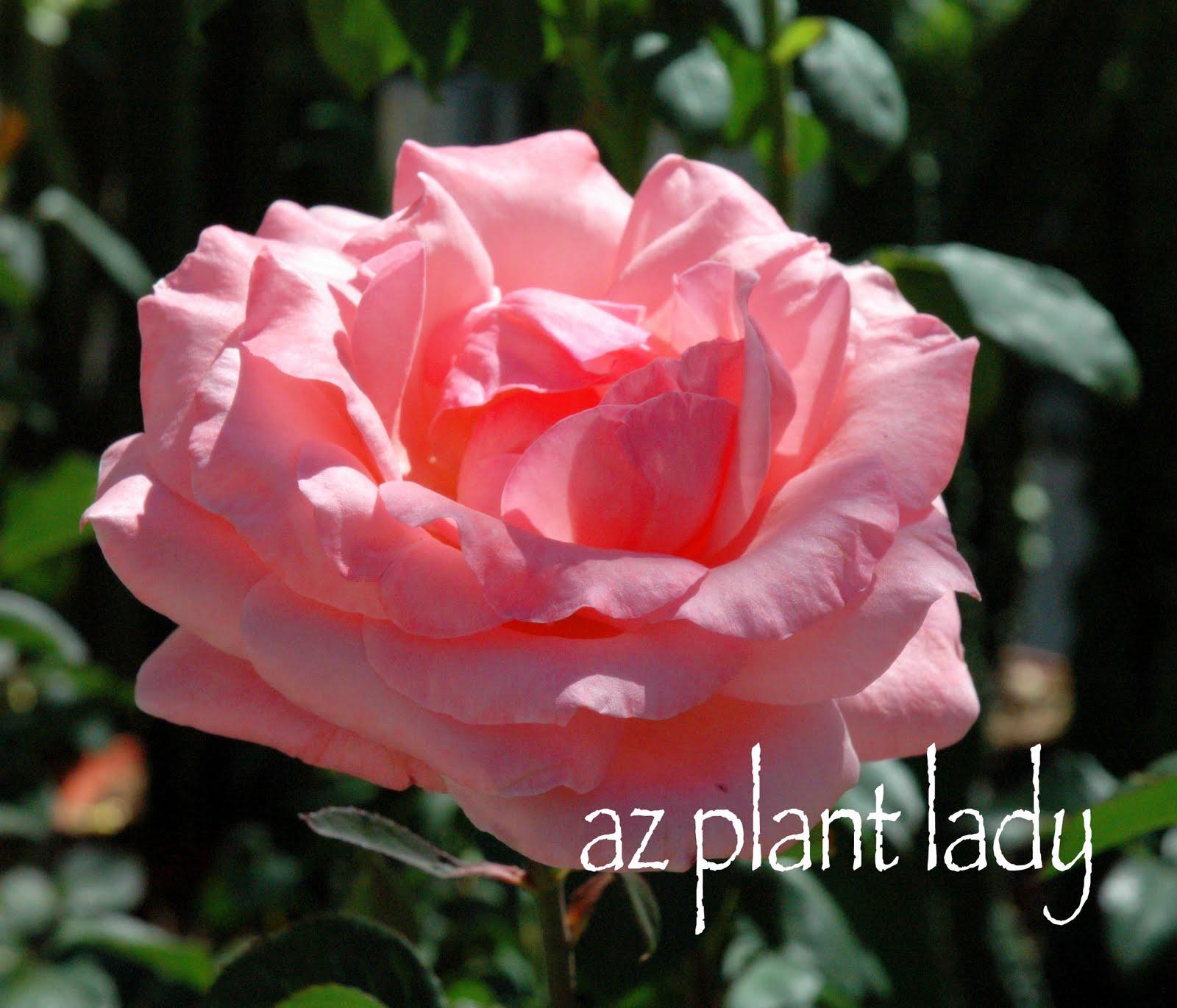 http://1.bp.blogspot.com/_Jidy_QuNt3M/Swn4e4F-DaI/AAAAAAAABL4/lPjlFQdm0rU/s1600/Lt%2BCoral%2BRose.jpg