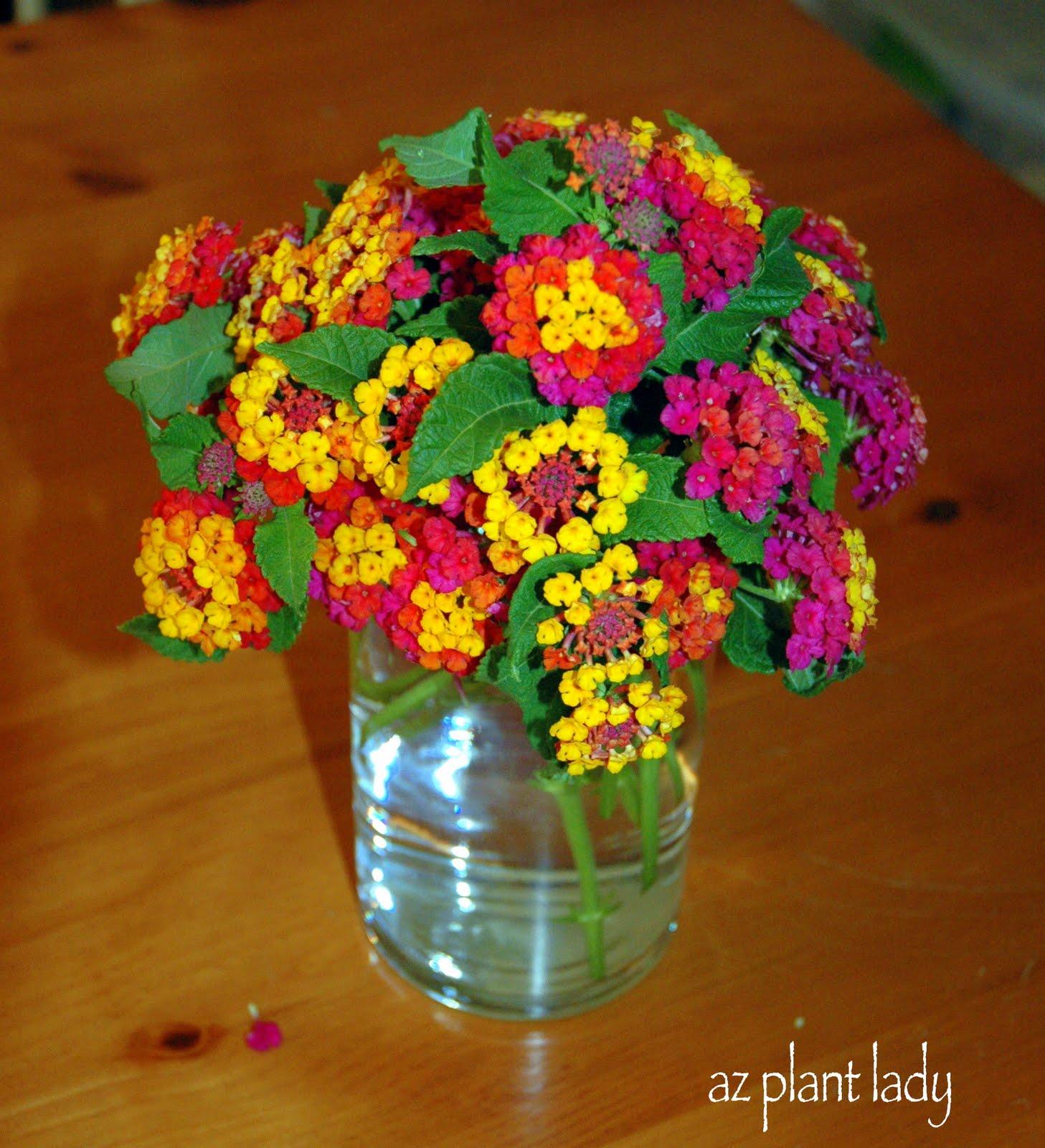 A Celebratory September MGD , Ramblings from a Desert Garden
