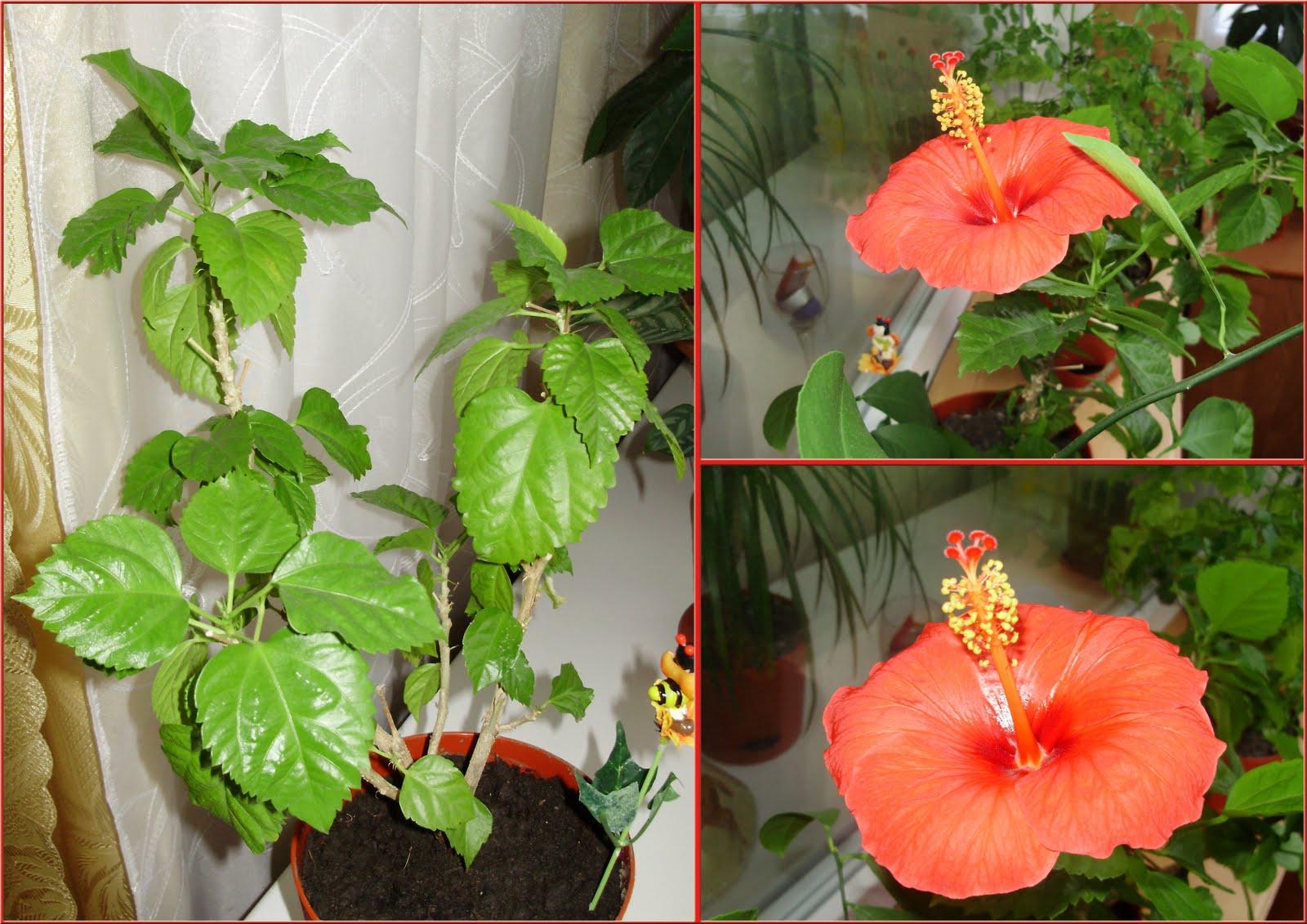 Китайская роза цветок смерти размножение пошаговое