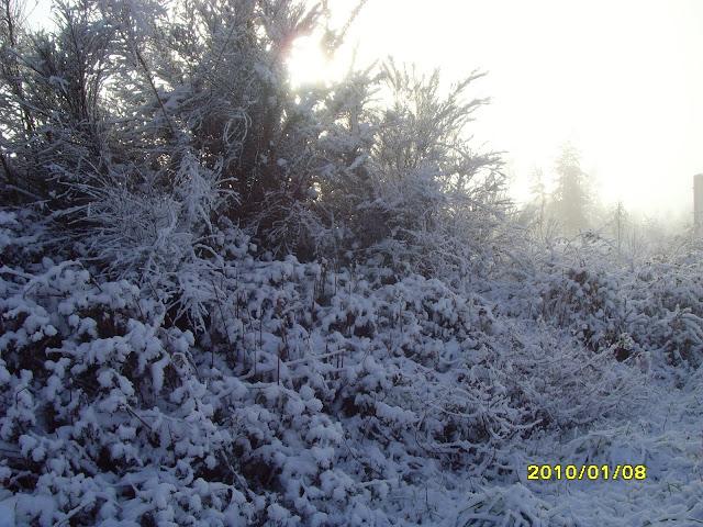 Arbustos nevados en Galicia