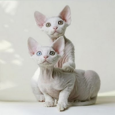 They are also very playful and friendly cats. Devon Rex