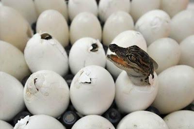 1 Yavru Timsahın Yumurtadan Çıkışı resimleri, fotosu