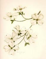 Viriginia American Dogwood