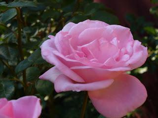 roses082