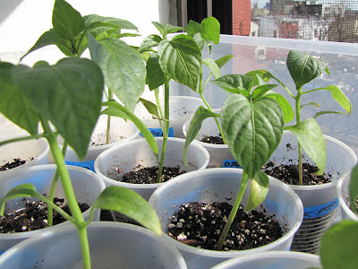 Bushwick Rooftop Container Gardening Seedlings