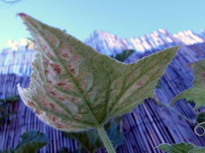 Bushwick Rooftop Container Garden Vegetable Pest