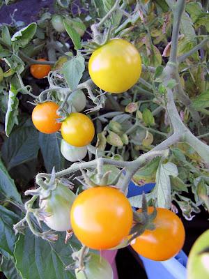 Rooftop Garden Cherry Tomato