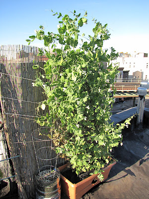 Bucolic Bushwick Rooftop Container Garden Vegetable Plant