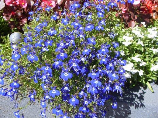 plantas de jardim que gostam de umidade:lobélia é uma planta muito cultivada pela beleza de suas flores